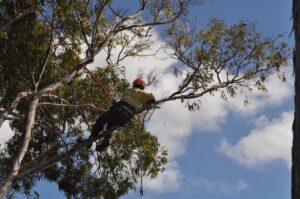 pruning climbers 05