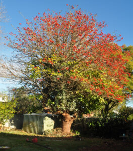residential coral tree 01