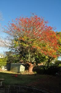 residential coral tree 02