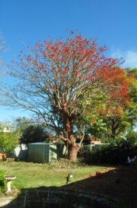 residential coral tree 03