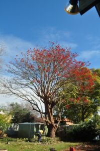 residential coral tree 04