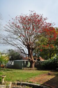 residential coral tree 05
