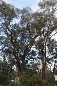 residential tuart tree 01