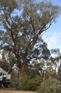 residential tuart tree 02