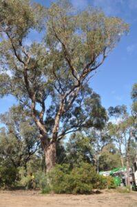 residential tuart tree 03