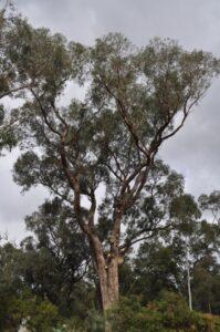 residential tuart tree 04